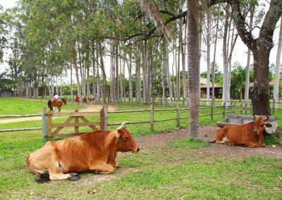 Vacas Hotel Fazenda Mazzaropi